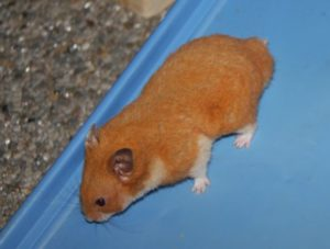 Oranje hamster