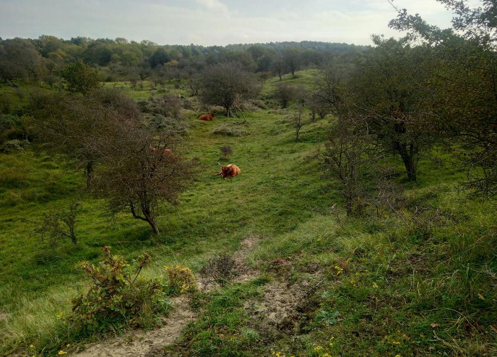 Duinen met bosjes en Hooglanders